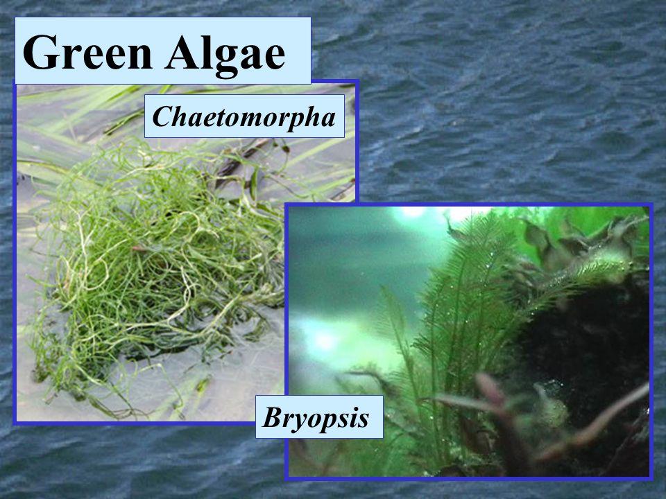 Chaetomorpha Bryopsis Green Algae