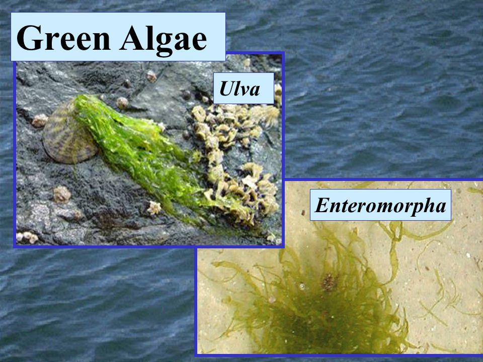 Enteromorpha Ulva Green Algae
