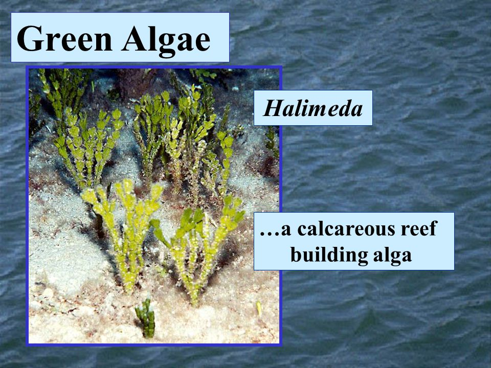 Halimeda …a calcareous reef building alga Green Algae