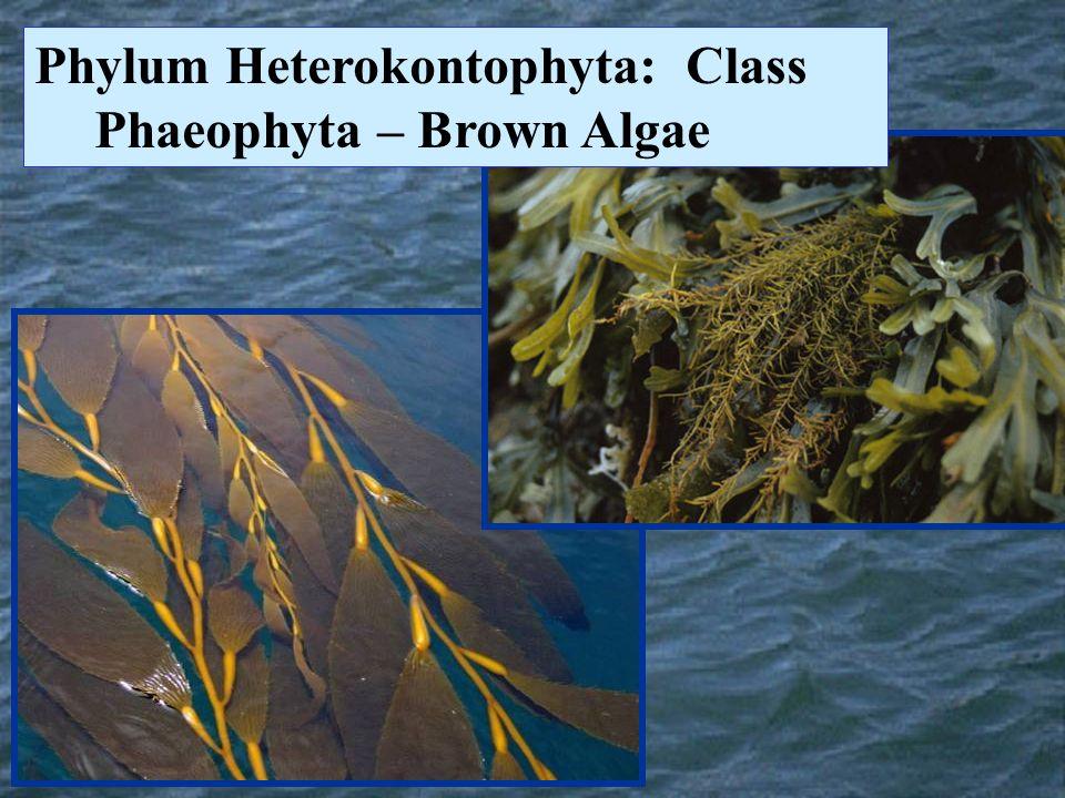 Phylum Heterokontophyta: Class Phaeophyta – Brown Algae