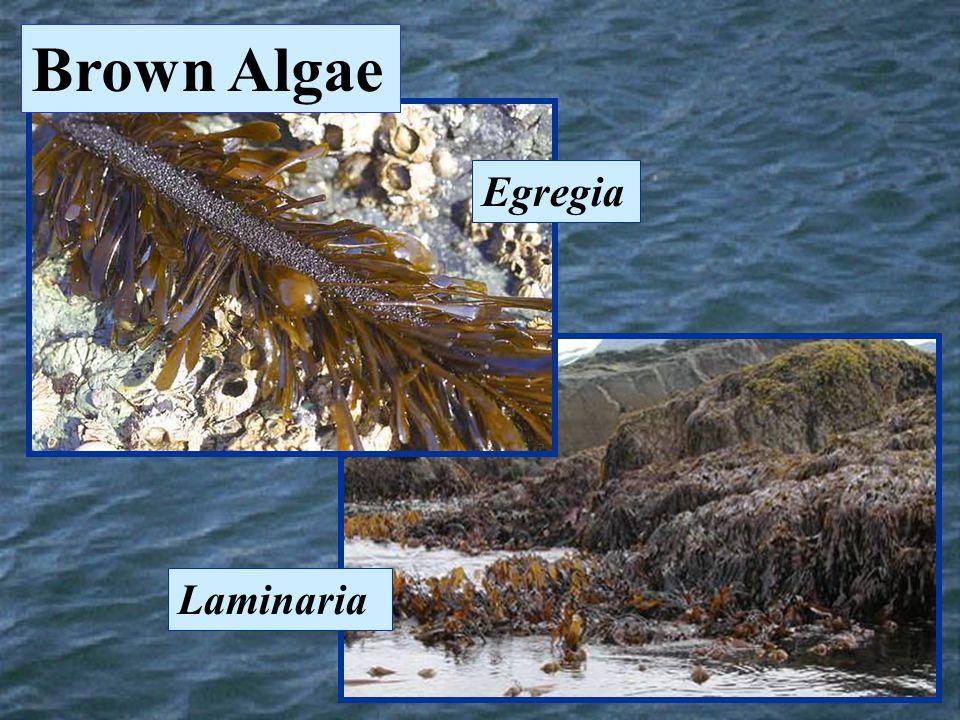 Laminaria Egregia Brown Algae