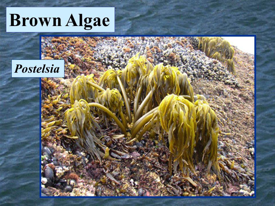 Postelsia Brown Algae