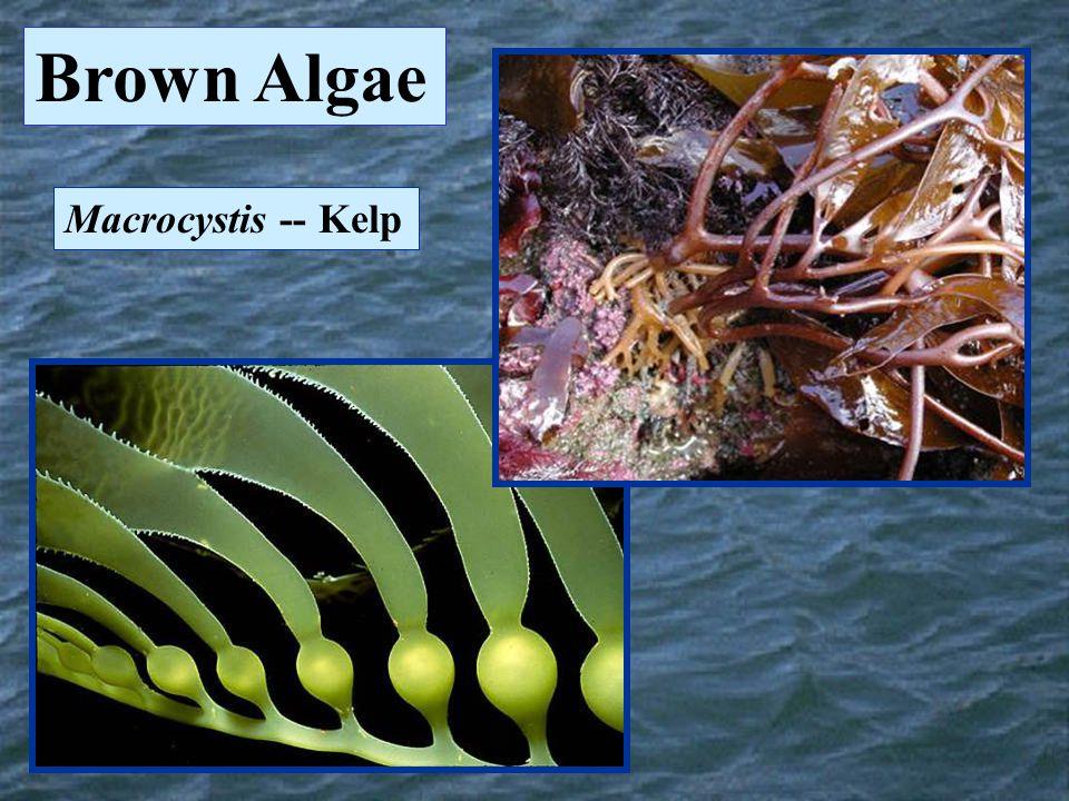 Macrocystis -- Kelp Brown Algae