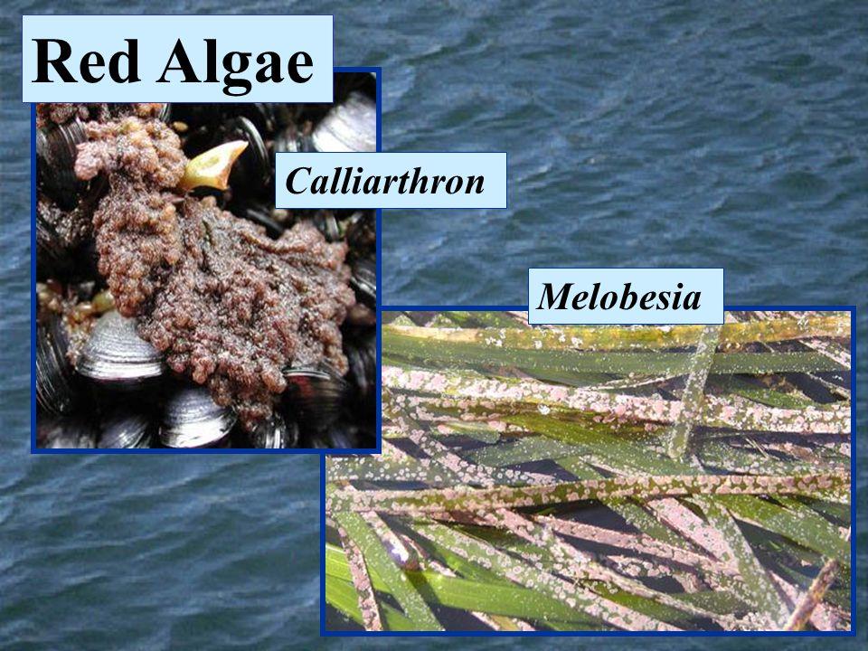 Calliarthron Melobesia Red Algae