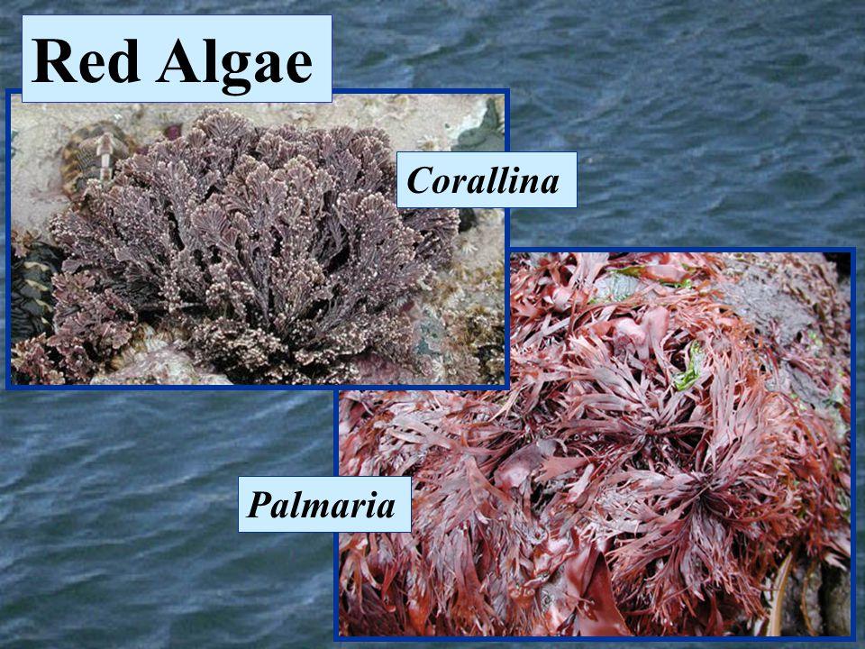 Corallina Palmaria Red Algae