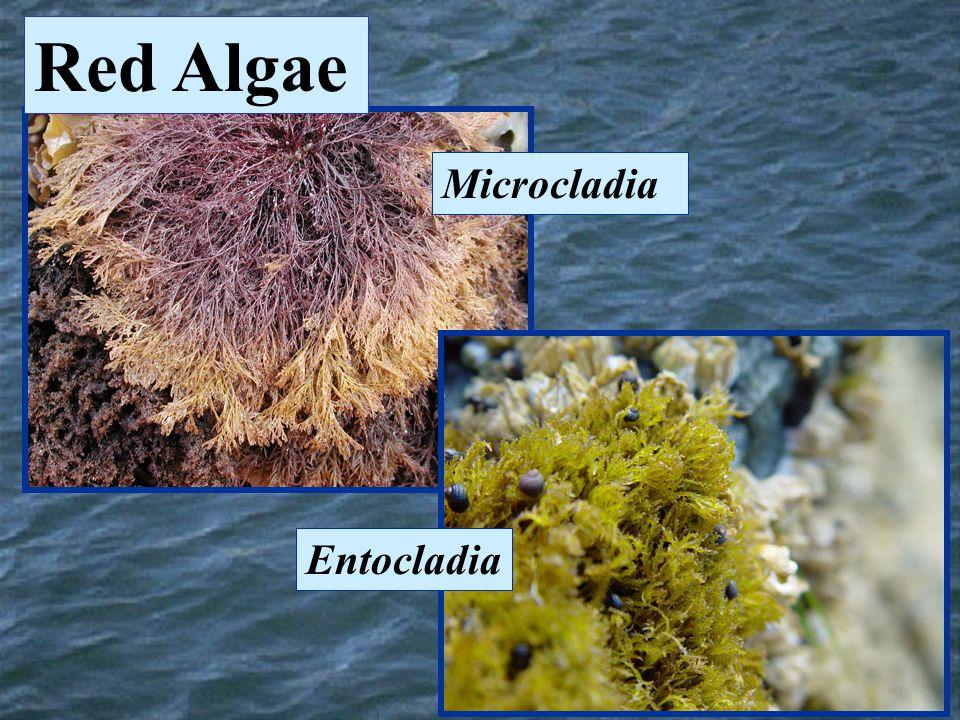Microcladia Entocladia Red Algae