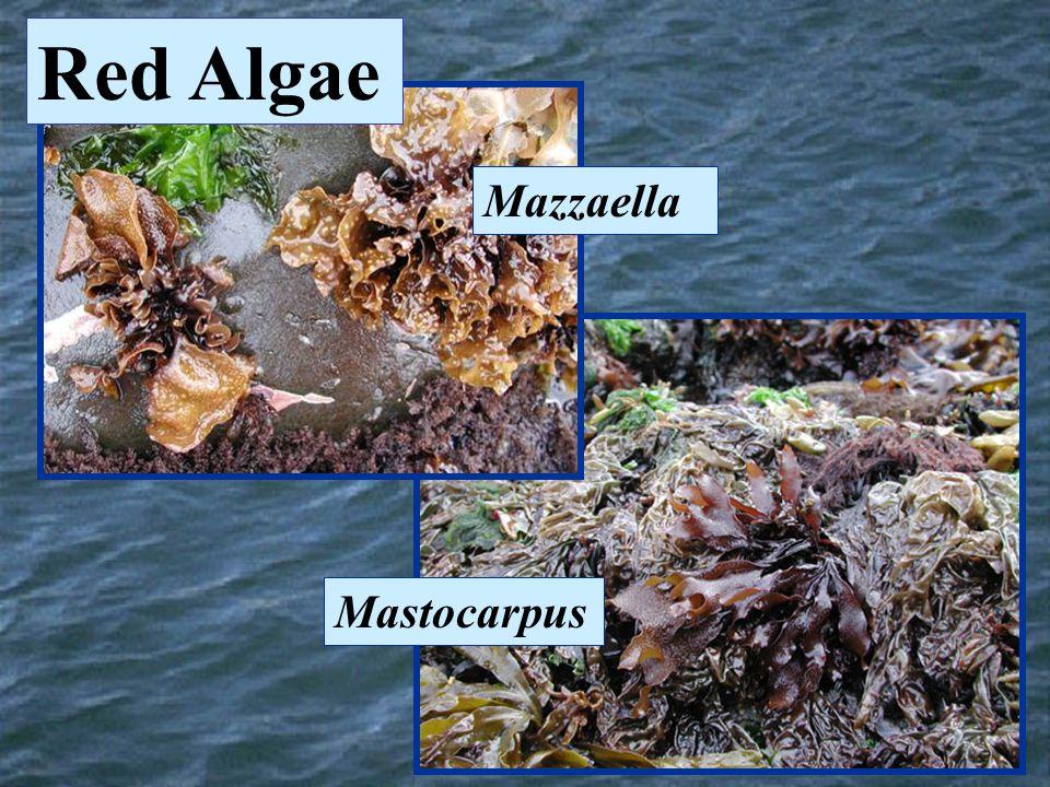 Mazzaella Mastocarpus Red Algae