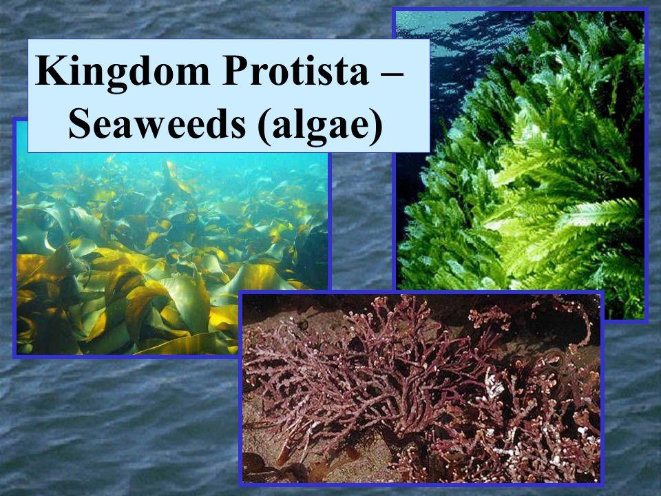 Kingdom Protista – Seaweeds (algae)