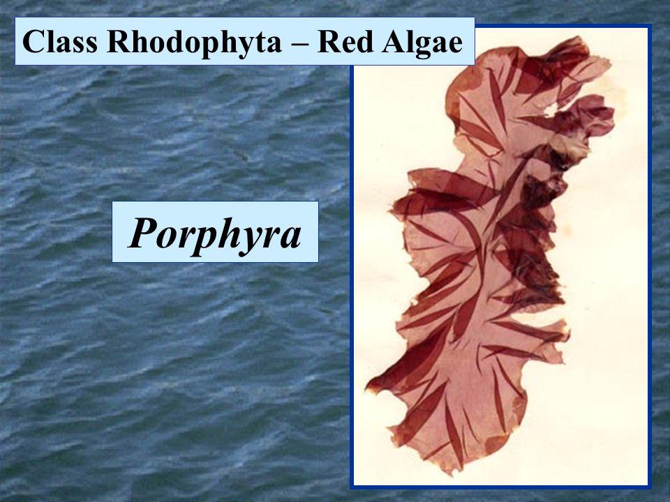 Class Rhodophyta – Red Algae Porphyra