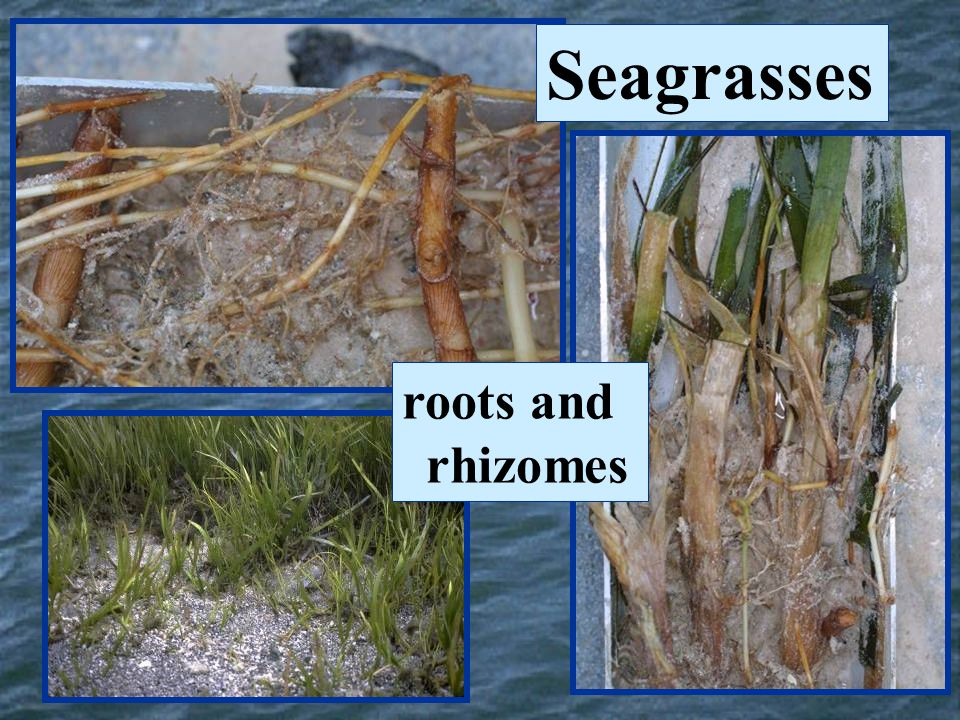 Seagrasses roots and rhizomes