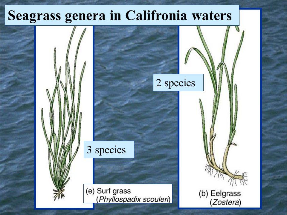 Seagrass genera in Califronia waters 2 species 3 species