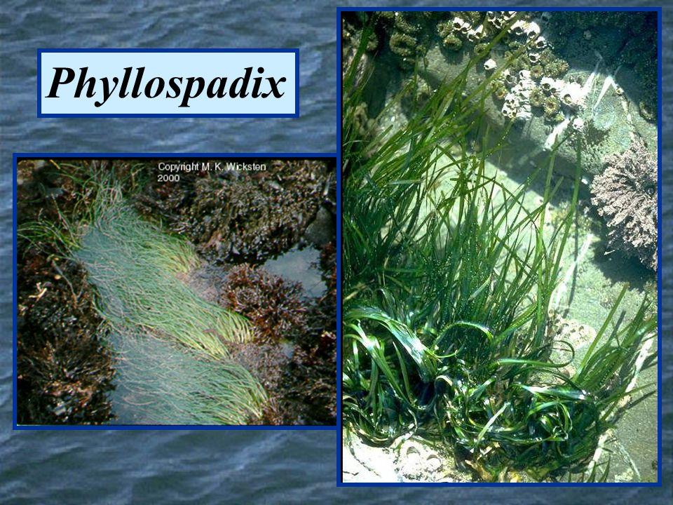 Phyllospadix
