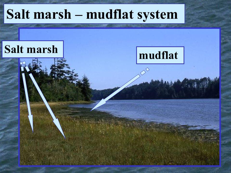 Salt marsh mudflat Salt marsh – mudflat system