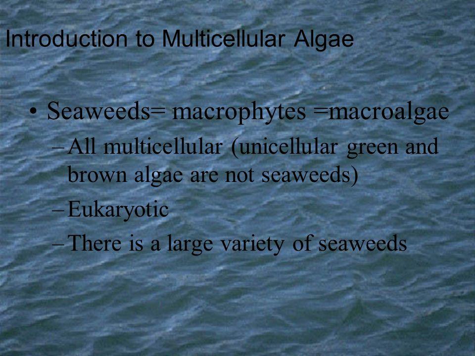 Introduction to Multicellular Algae Seaweeds= macrophytes =macroalgae –All multicellular (unicellular green and brown algae are not seaweeds) –Eukaryo