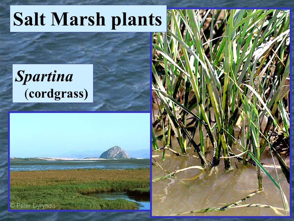 Spartina (cordgrass) Salt Marsh plants
