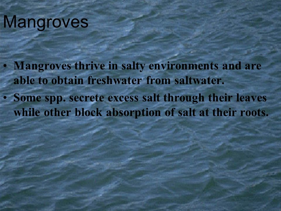 Mangroves Mangroves thrive in salty environments and are able to obtain freshwater from saltwater. Some spp. secrete excess salt through their leaves