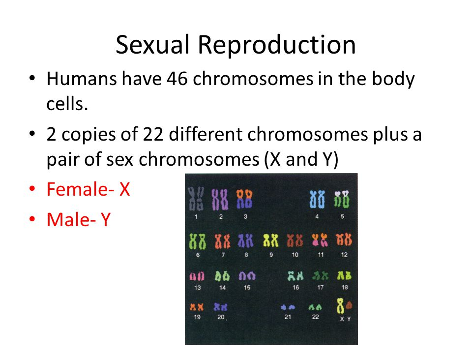 Sexual Reproduction Humans have 46 chromosomes in the body cells. 2 copies of 22 different chromosomes plus a pair of sex chromosomes (X and Y) Female
