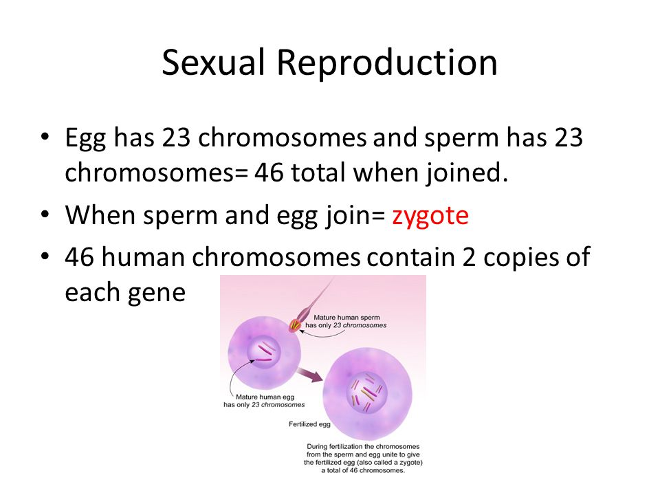 Sexual Reproduction Egg has 23 chromosomes and sperm has 23 chromosomes= 46 total when joined. When sperm and egg join= zygote 46 human chromosomes co