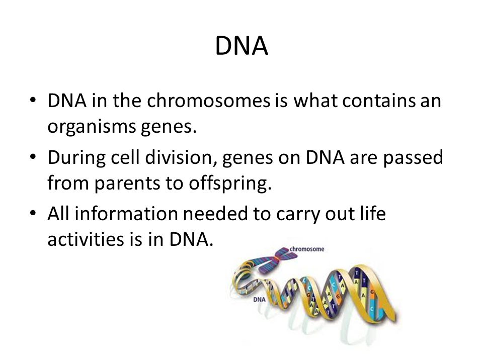DNA DNA in the chromosomes is what contains an organisms genes. During cell division, genes on DNA are passed from parents to offspring. All informati