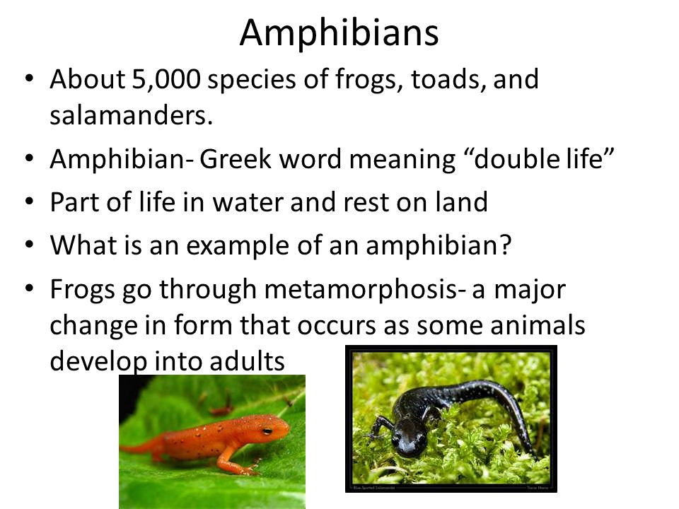 """Amphibians About 5,000 species of frogs, toads, and salamanders. Amphibian- Greek word meaning """"double life"""" Part of life in water and rest on land Wh"""