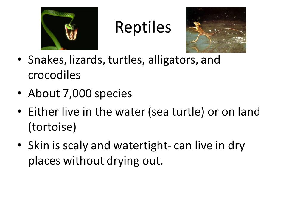 Reptiles Snakes, lizards, turtles, alligators, and crocodiles About 7,000 species Either live in the water (sea turtle) or on land (tortoise) Skin is