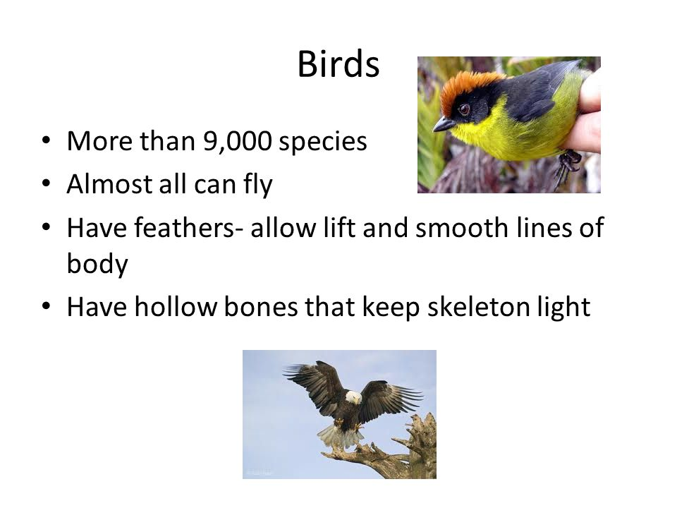 Birds More than 9,000 species Almost all can fly Have feathers- allow lift and smooth lines of body Have hollow bones that keep skeleton light