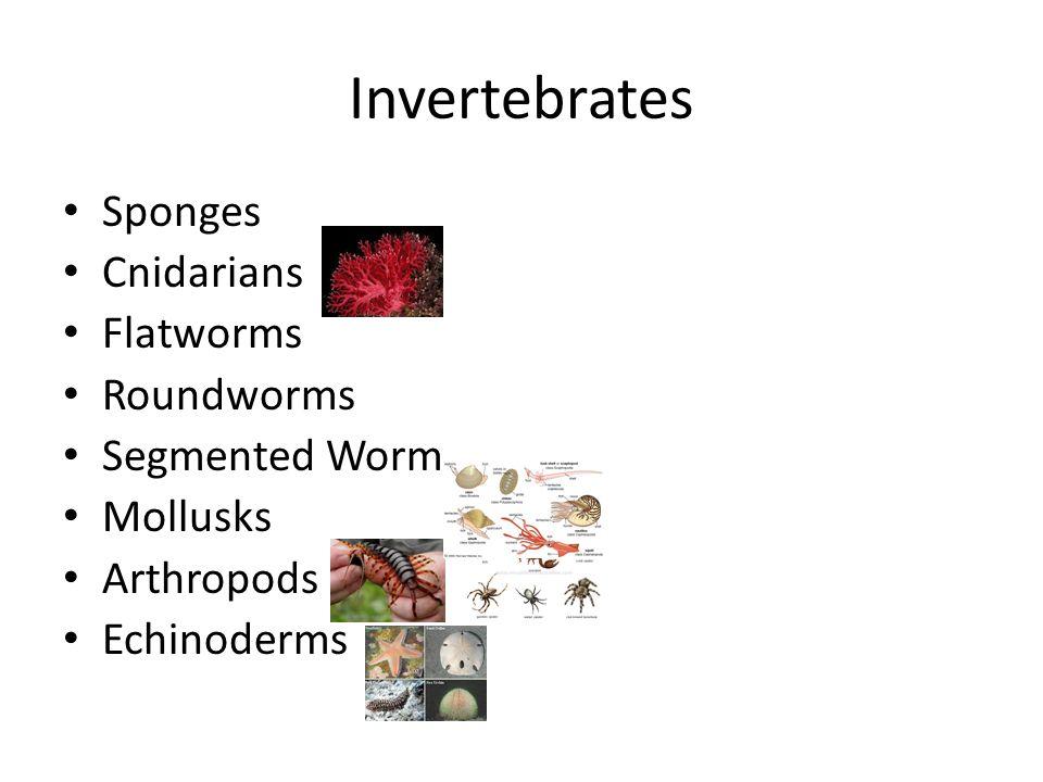 Invertebrates Sponges Cnidarians Flatworms Roundworms Segmented Worm Mollusks Arthropods Echinoderms