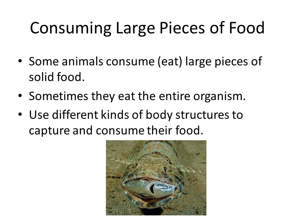 Consuming Large Pieces of Food Some animals consume (eat) large pieces of solid food. Sometimes they eat the entire organism. Use different kinds of b