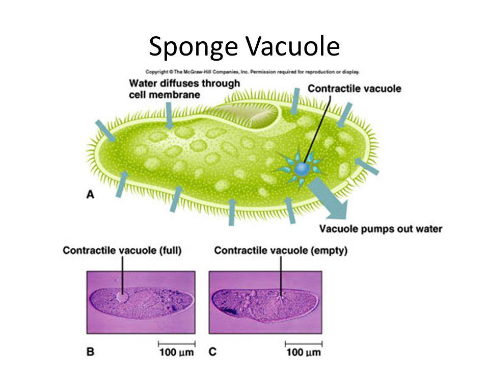 Sponge Vacuole