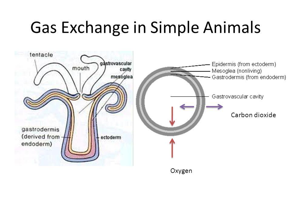 Gas Exchange in Simple Animals Oxygen Carbon dioxide