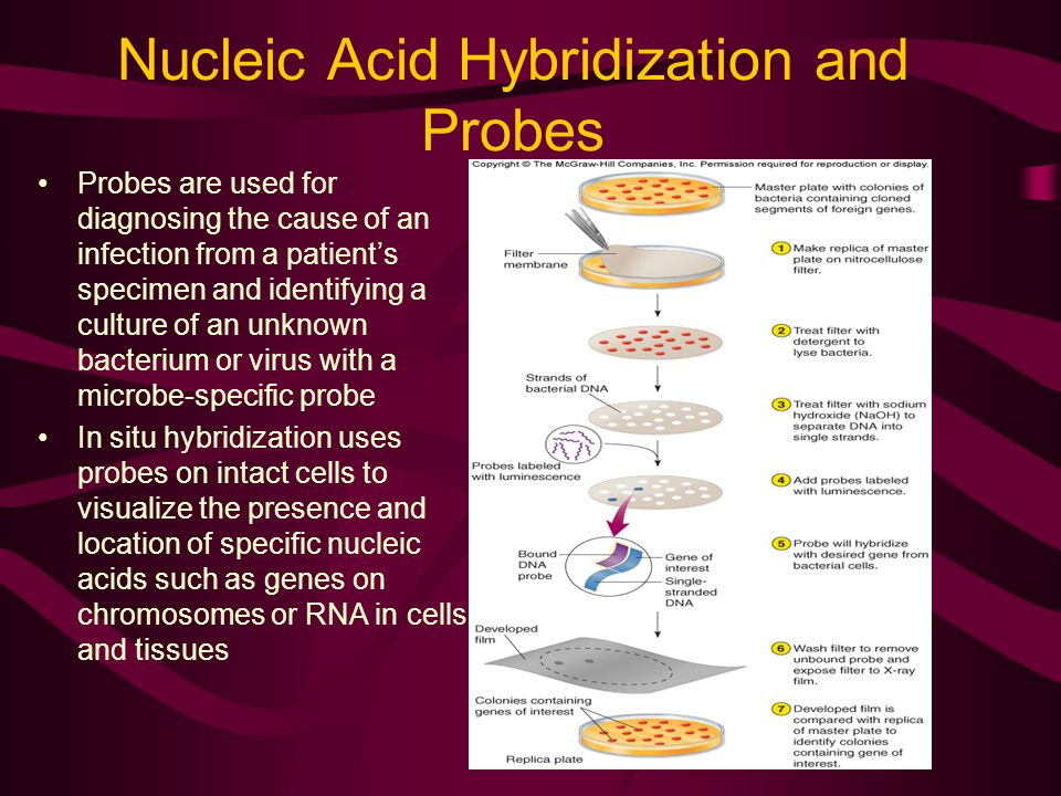 Nucleic Acid Hybridization and Probes Probes are used for diagnosing the cause of an infection from a patient's specimen and identifying a culture of an unknown bacterium or virus with a microbe-specific probe In situ hybridization uses probes on intact cells to visualize the presence and location of specific nucleic acids such as genes on chromosomes or RNA in cells and tissues