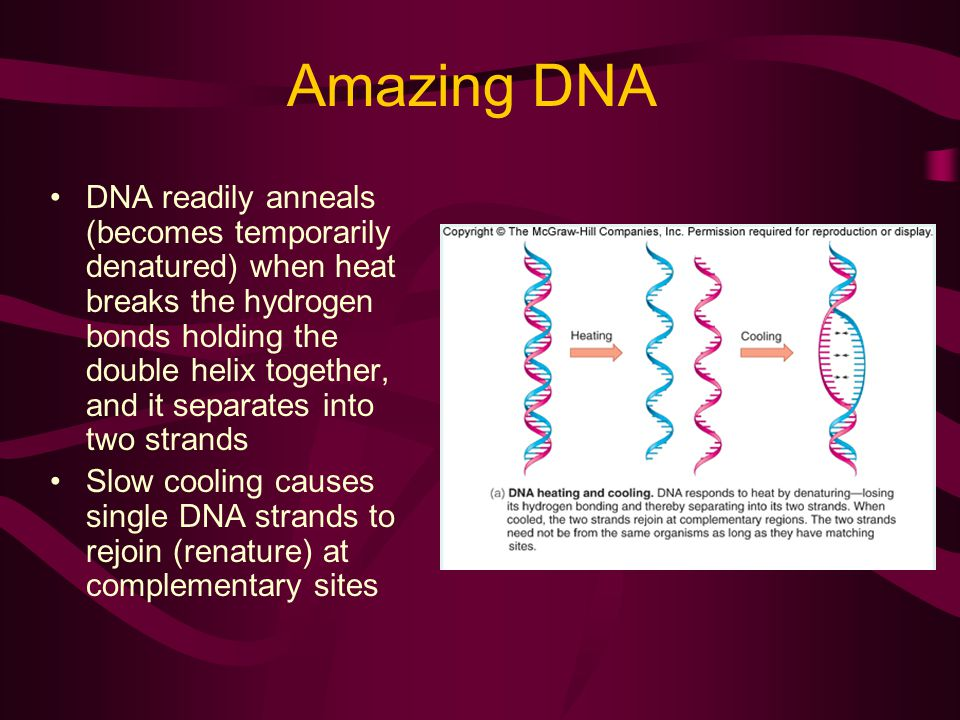 Amazing DNA DNA readily anneals (becomes temporarily denatured) when heat breaks the hydrogen bonds holding the double helix together, and it separates into two strands Slow cooling causes single DNA strands to rejoin (renature) at complementary sites