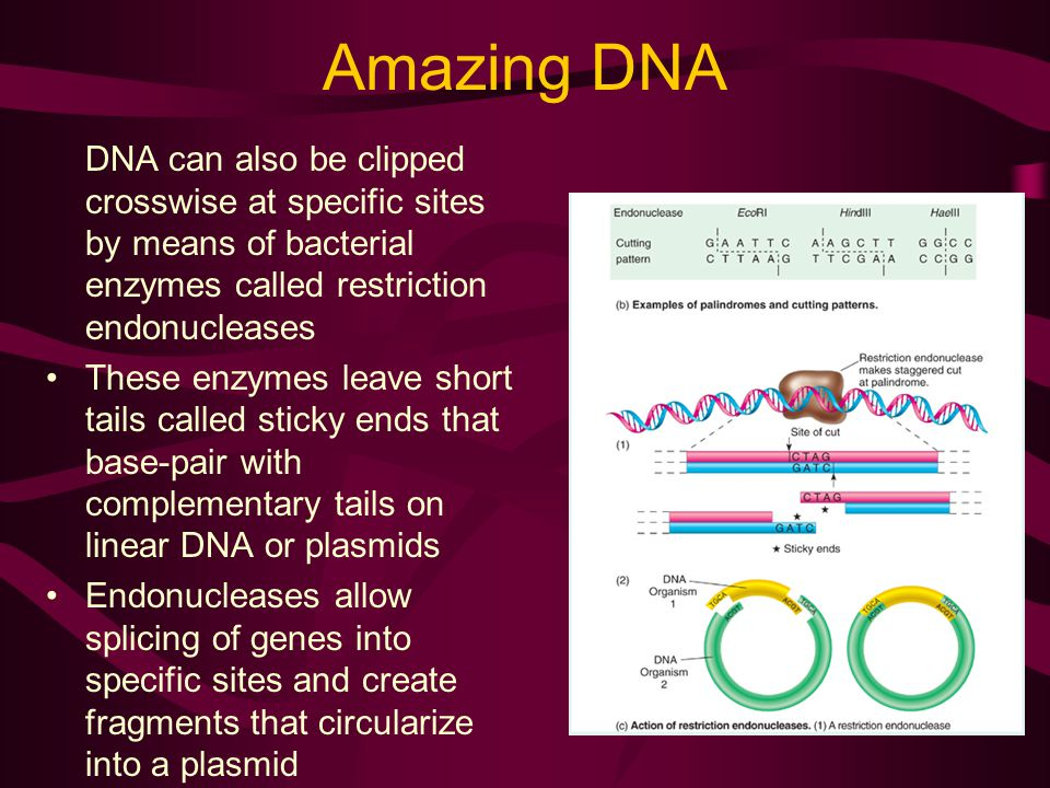 Amazing DNA DNA can also be clipped crosswise at specific sites by means of bacterial enzymes called restriction endonucleases These enzymes leave short tails called sticky ends that base-pair with complementary tails on linear DNA or plasmids Endonucleases allow splicing of genes into specific sites and create fragments that circularize into a plasmid