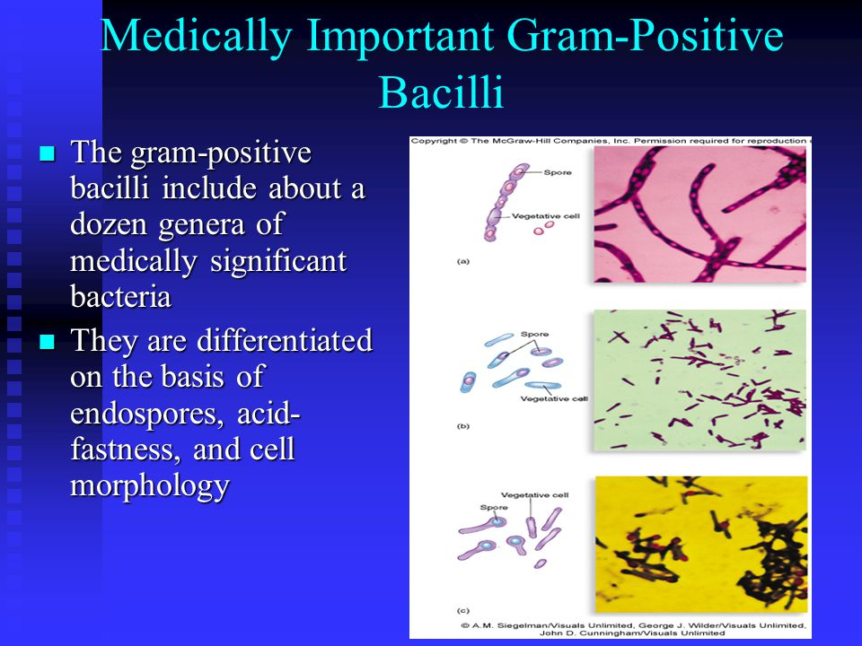 Medically Important Gram-Positive Bacilli The gram-positive bacilli include about a dozen genera of medically significant bacteria The gram-positive bacilli include about a dozen genera of medically significant bacteria They are differentiated on the basis of endospores, acid- fastness, and cell morphology They are differentiated on the basis of endospores, acid- fastness, and cell morphology