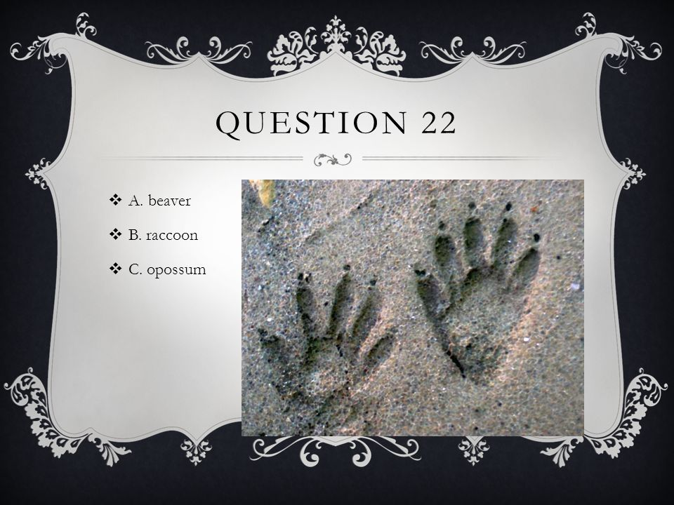 QUESTION 22  A. beaver  B. raccoon  C. opossum