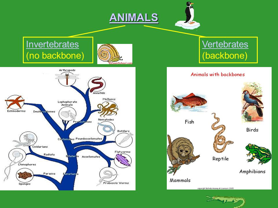 ANIMALS Invertebrates Invertebrates (no backbone) Vertebrates Vertebrates (backbone)