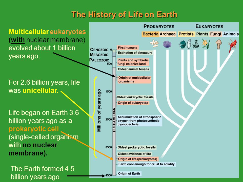 The History of Life on Earth Life began on Earth 3.6 billion years ago as a prokaryotic cell (single-celled organism with no nuclear membrane).