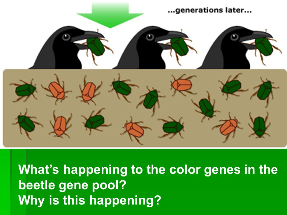 What color genes are in the beetle gene pool?