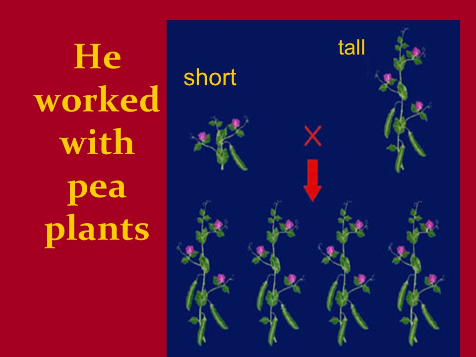 He worked with pea plants short tall