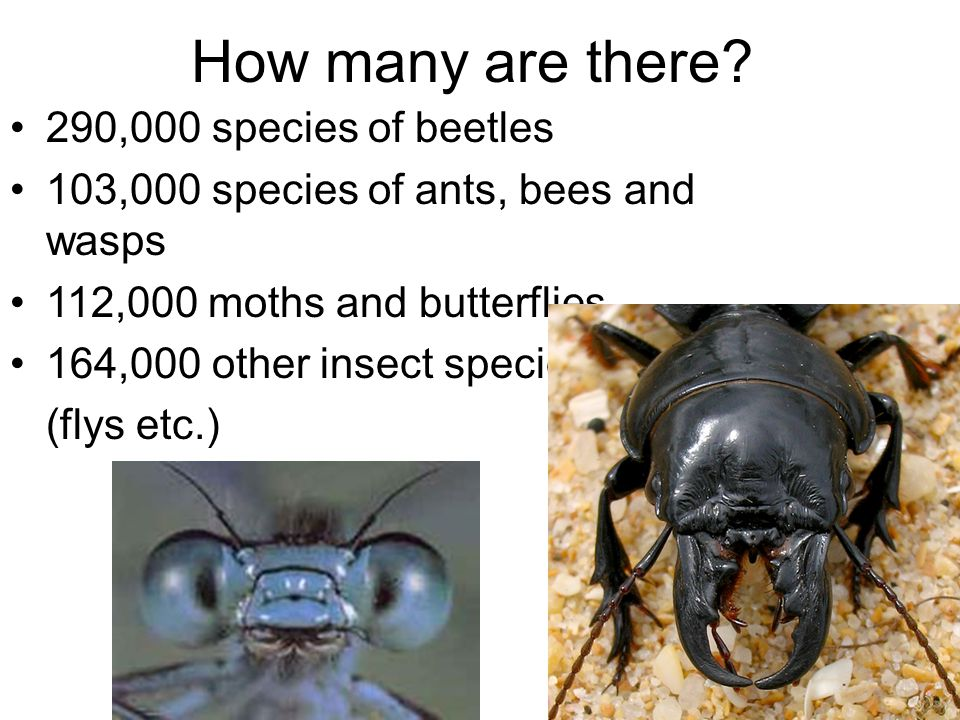 How many are there? 290,000 species of beetles 103,000 species of ants, bees and wasps 112,000 moths and butterflies 164,000 other insect species (fly