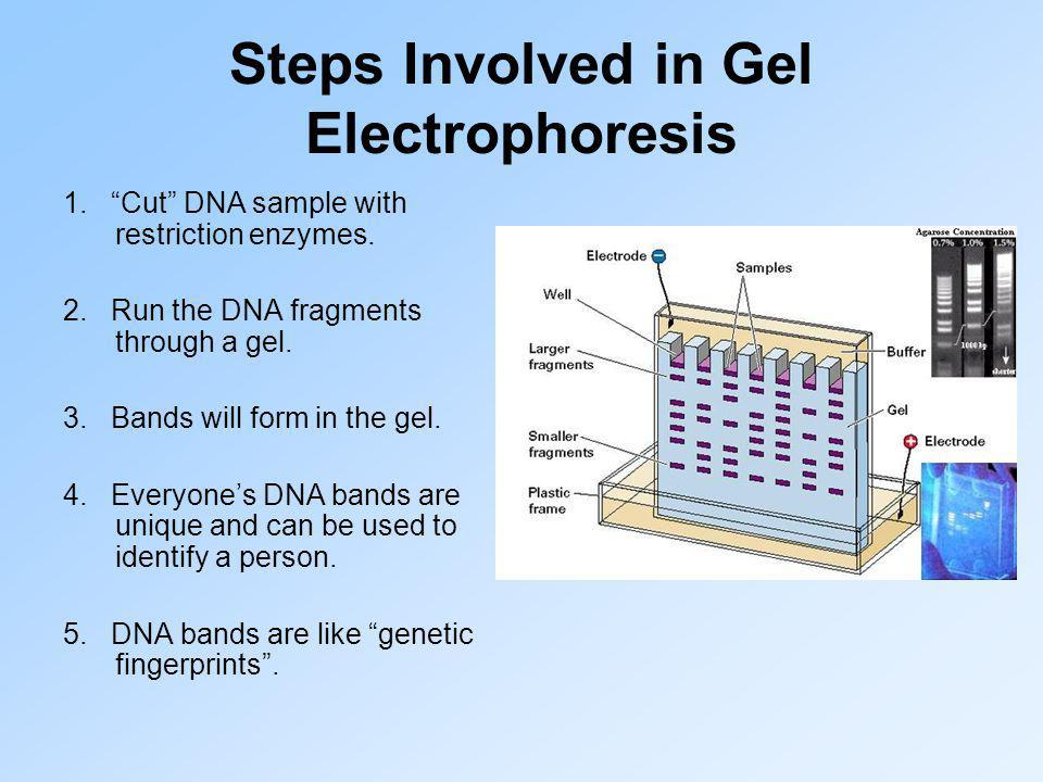 Steps Involved in Gel Electrophoresis 1. Cut DNA sample with restriction enzymes.