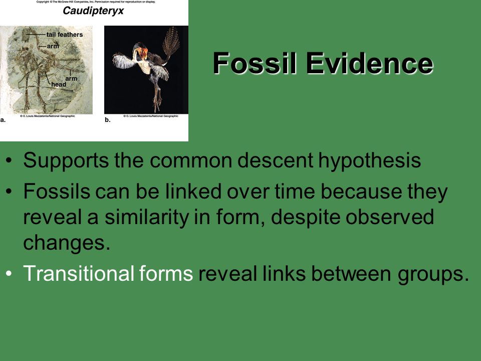 Fossil Evidence Supports the common descent hypothesis Fossils can be linked over time because they reveal a similarity in form, despite observed chan