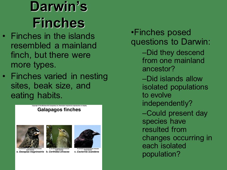 Darwin's Finches Finches in the islands resembled a mainland finch, but there were more types. Finches varied in nesting sites, beak size, and eating
