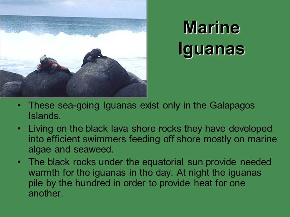 Marine Iguanas These sea-going Iguanas exist only in the Galapagos Islands. Living on the black lava shore rocks they have developed into efficient sw