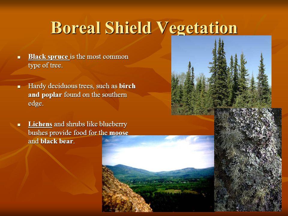 Boreal Shield Vegetation Black spruce is the most common type of tree. Black spruce is the most common type of tree. Hardy deciduous trees, such as bi