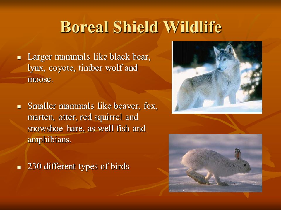 Boreal Shield Wildlife Larger mammals like black bear, lynx, coyote, timber wolf and moose. Larger mammals like black bear, lynx, coyote, timber wolf