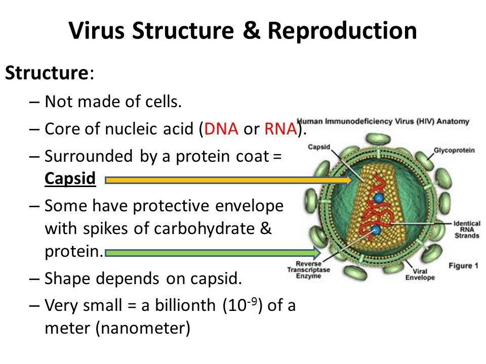 Virus Structure & Reproduction Structure: – Not made of cells. – Core of nucleic acid (DNA or RNA). – Surrounded by a protein coat = Capsid – Some hav
