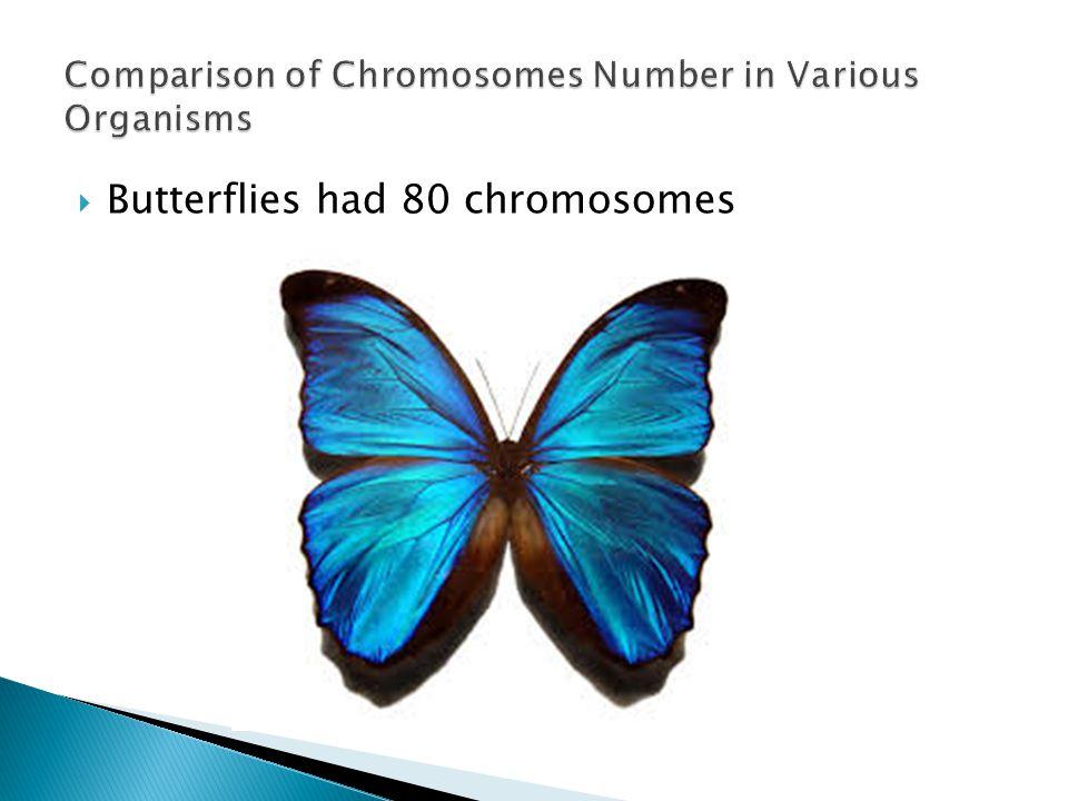  Butterflies had 80 chromosomes
