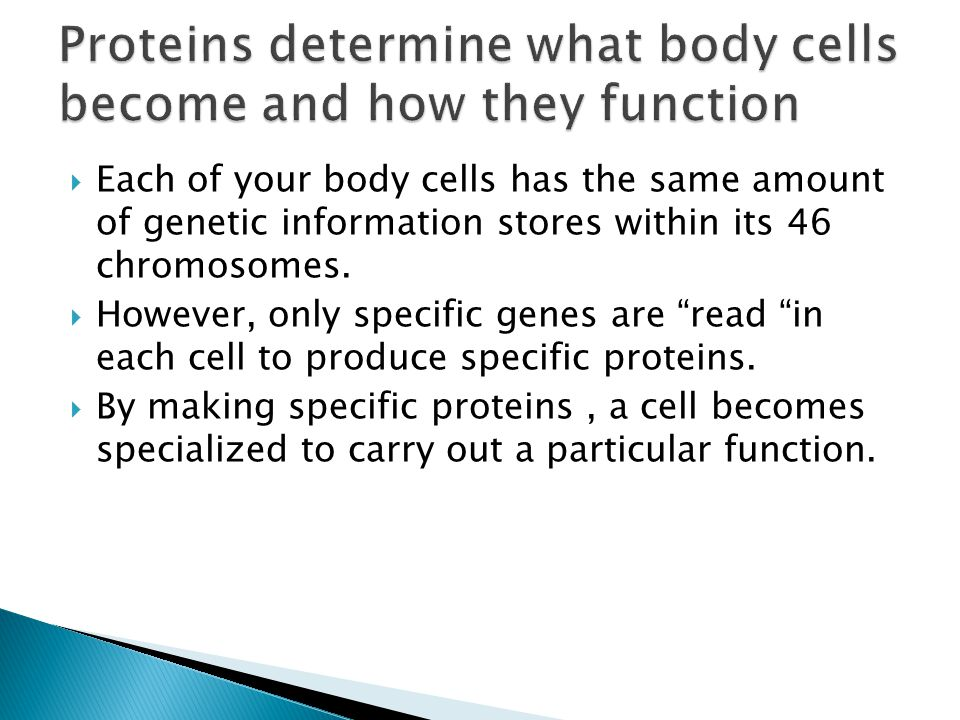 """ Each of your body cells has the same amount of genetic information stores within its 46 chromosomes.  However, only specific genes are """"read """"in ea"""