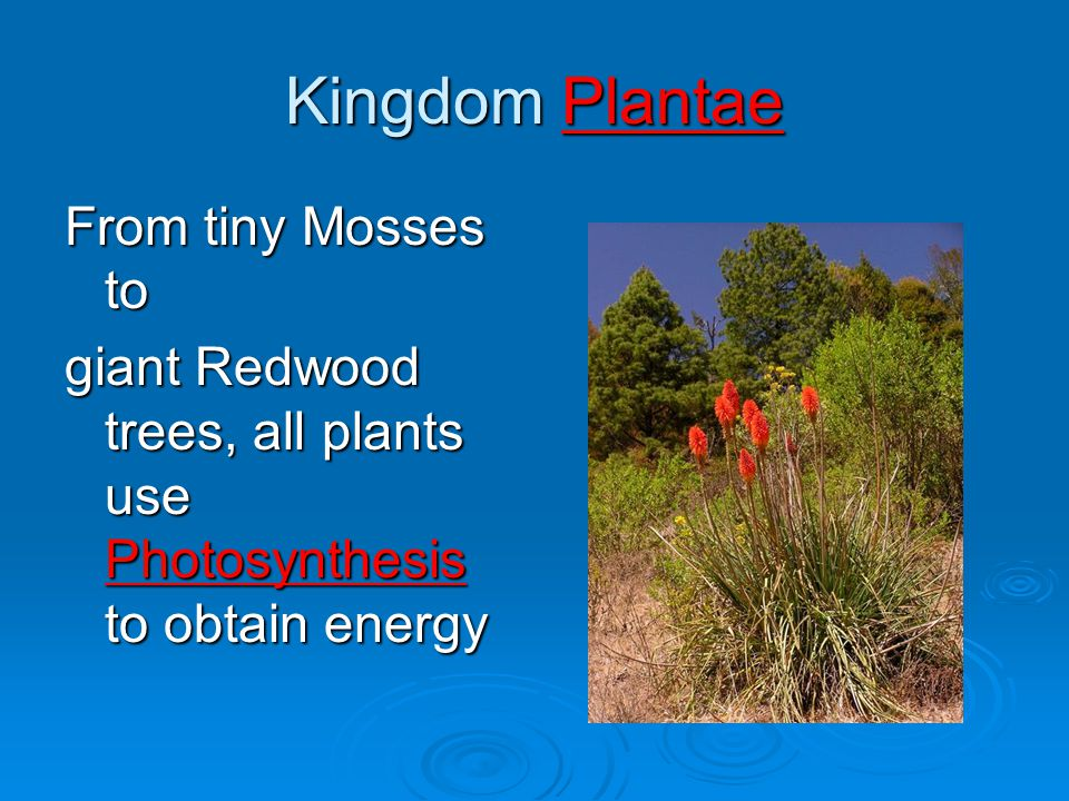 Kingdom Plantae From tiny Mosses to giant Redwood trees, all plants use Photosynthesis to obtain energy